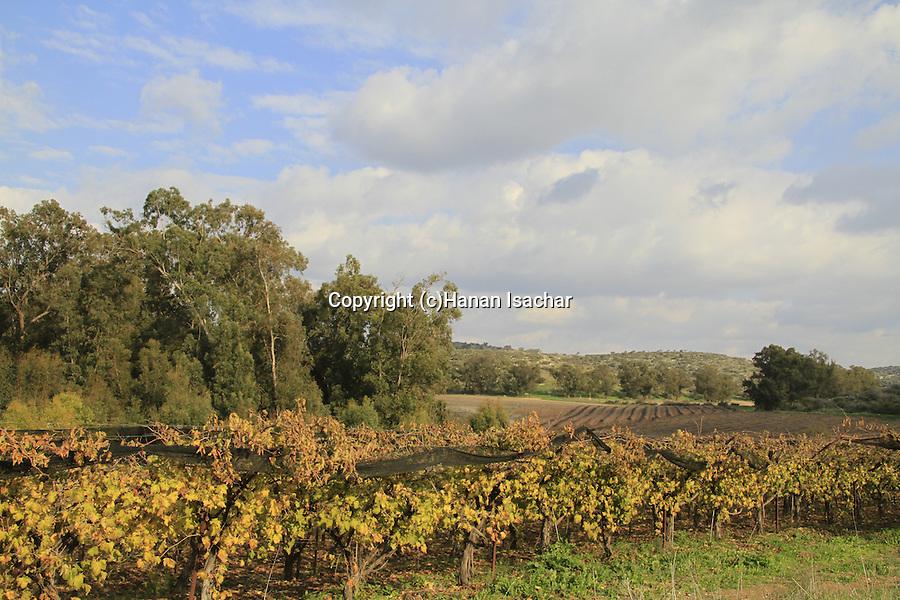 Israel, Shephelah, a vineyard near Tel Lachish