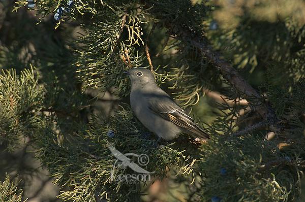 Townsend's Solitaire (Myadestes townsendi) in juniper tree.  Western U.S.