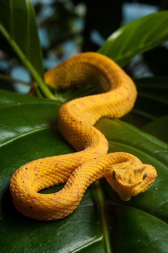 Eyelash Viper (Oropel)  (Bothreichis Schlegeli) - This small, highly variable viper uses camouflage and sit-and-wait tactics to hunt lizards, rodents, and frogs. Individuals may be bright yellow, green, brown, grey, reddish, and even white or pink. Various colors may occur in the same litter of snakes. This area is known for its yellow specimens. Cahuita, Costa Rica.