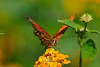 Gulf Fritillary (Agraulis vanillae) butterfly