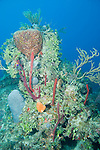 Grand Bahama Island, The Bahamas; a large coral head is covered with sea rods, sponges, sea fans and great star coral
