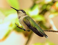Subadult male ruby-throated hummingbird