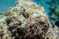 Stonefish, Scientific name: Synanceia verrucosa, fish, off the coast of Safaga, Egypt, South, Red Sea, tropical water