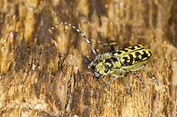 Leiterbock, Leiter-Bock, Leiterbockkäfer, Saperda scalaris, scalar longhorn beetle