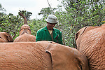 Abdi Kashel, a keeper, with one of the 18 orphaned baby elephants at the David Sheldrick Wildlife Trust in Nairobi National Park. tends to some of the 18 orphaned baby elephants at the David Sheldrick Wildlife Trust in Nairobi National Park.