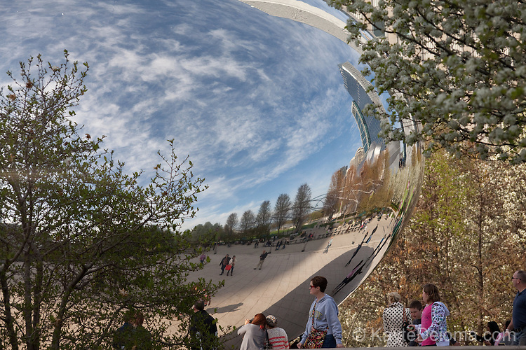 Spring flowering trees reflected in the Cloud Gate, also known as The Bean in Millennium Park, Chicago, IL, USA