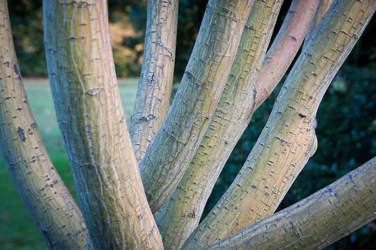 Multi-stem trunks of Pere David's or snake-bark maple (Acer davidii 'Serpentine').