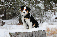 The images displayed here are of my Australian Shepard Molly Montana. Molly was born November 12, 2012. These images are for the enjoyment of fellow dog lovers and are not for sale.