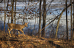 White-tailed fawn walking in a woodland with a thawing lake in the background.