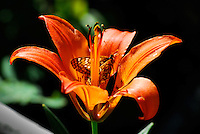 Wild wood lily with butterfly in the Kootenai National Forest Montana
