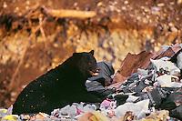 Black Bear (Ursus americanus) in garbage dump.