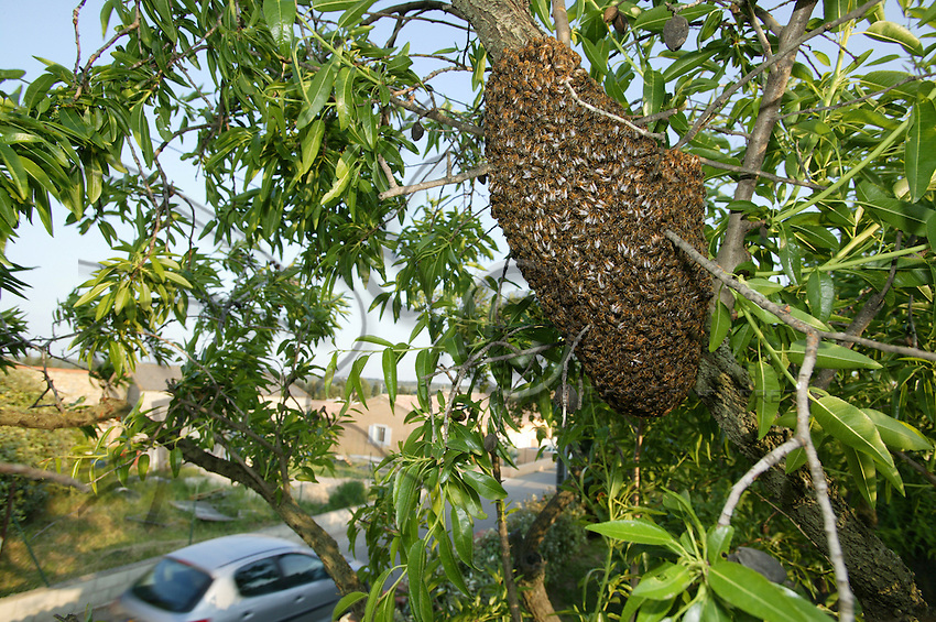 In May, a swarm has formed on the branch of an olive tree. The queen has just left her beehive with half the colony. On the branch, she is waiting for the return of her scout workers when they have found a location suitable for a new colony to settle.