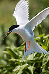 Endangered Roseate tern in flight with fish in its' beak, vertical.