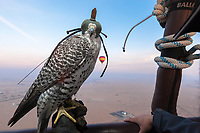"United Arab Emirates (UAE). Dubai. Balloon Adventures Dubai. A Gyr Saker falcon with a hood and its trainer on a hot air balloon tour flight above the desert of Dubai. The hourlong experience provides a look at the beauty of long stretches of desert and a raptor flying at high altitude (1000 meters). A Gyr-Saker falcon is a hybrid of the world's largest hawk, the Gyrfalcon and the second largest hawk, the Saker falcon. The bird is carrying on his back a GPS antenna to track the animal in case it get lost flying away. Falcons are birds of prey in the genus Falco, which includes about 40 species. Adult falcons have thin, tapered wings, which enable them to fly at high speed and change direction rapidly. Additionally, they have keen eyesight for detecting food at a distance or during flight, strong feet equipped with talons for grasping or killing prey, and powerful, curved beaks for tearing flesh. Falcons kill with their beaks, using a ""tooth"" on the side of their beaks. The United Arab Emirates (UAE) is a country in Western Asia at the northeast end of the Arabian Peninsula. 17.02.2020  © 2020 Didier Ruef"