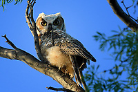 Great Horned Owl young, recently fledged