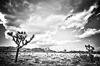 Joshua Trees in Black and White - CA - Joshua Tree NP