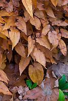 Epimedium 'Black Sea' in autumn fall foliage