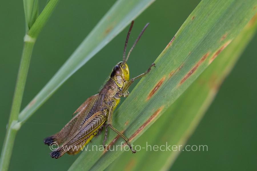 Gemeiner Grashüpfer, Männchen, Pseudochorthippus parallelus, Chorthippus parallelus, Chorthippus longicornis, common meadow grasshopper, meadow grasshopper, male, le criquet des pâtures