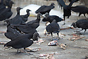 18/02/16 <br /> <br /> Vultures feed on scraps at Panama City fish market, Panama.<br /> <br /> All Rights Reserved: F Stop Press Ltd. +44(0)1335 418365   +44 (0)7765 242650 www.fstoppress.com