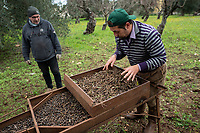 Italy. Apulia Region. Contrada Galante is a village, distant 15 km from the town of Ceglie Messapica, located in Apulia (Puglia) in Southern Italy. Small farmhouse. Machine for sorting olives. A farmer and a friend collect rotten olives which will be used for feeding animals. The olive harvest in 2018 in Apulia was disastrous due to bad weather, heavy rains and temperature's drop just before harvest time. In Salient area, olives trees suffer also from attacks of Xylella fastidiosa, an aerobic, Gram-negative bacterium of the monophyletic genus Xylella, which causes the olive quick decline syndrome. 6.12.18  © 2018 Didier Ruef