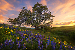 A patch of balsamroot and lupines frame this picturesque tree at sunset in Oregon's Columbia Hills.<br /> <br /> ARTIST CHOICE: 24x36 Lumachrome/Acylic
