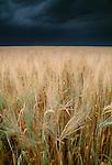 Wheatfields, Twin Buttes region, Alberta, Canada