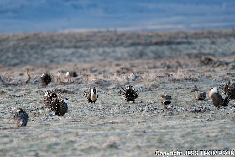Greater-Sage Grouse Lek, Colorado