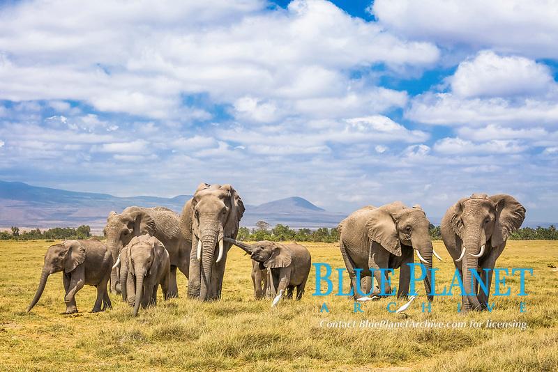 African bush elephant, African savanna elephant, Loxodonta africana, herd, Amboseli National Park, Kenya