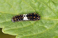 Schwalbenschwanz, junge Raupe, Papilio machaon, swallowtail, swallow-tail