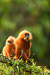 Red Leaf Monkey (Presbytis rubicunda) female and young feeding on vines on fence, Tawau Hills Park, Sabah, Borneo, Malaysia