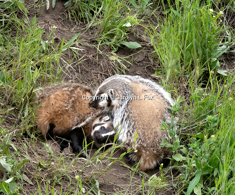 Badgers Badger cubs play in Yellowstone.