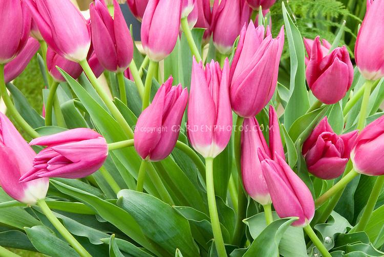 Tulipa Lilynita triumph tulip spring bulb pink in flower bloom