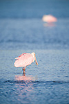 Ding Darling National Wildlife Refuge, Sanibel Island, Florida; a pair of Roseate Spoonbill (Ajaia ajaja) birds forage for food in the shallow water © Matthew Meier Photography, matthewmeierphoto.com All Rights Reserved