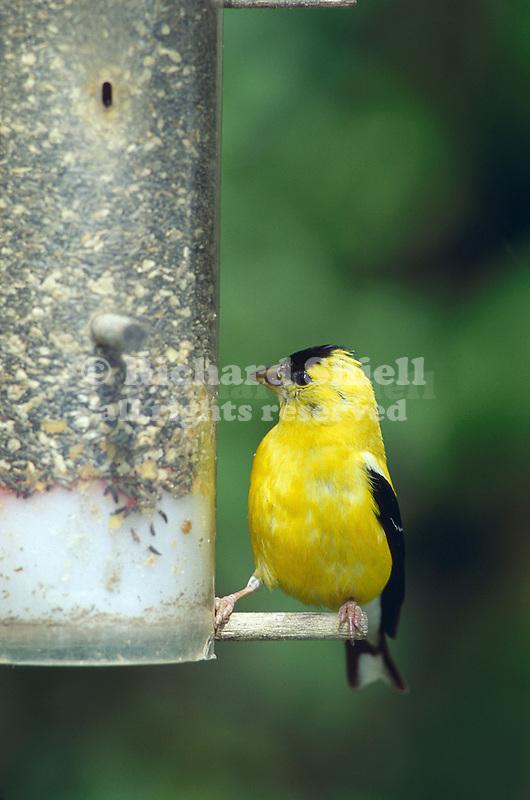2982-FD American Goldfinch, male, Spinus tristis, at thistle feeder in Stillwater, Minnesota