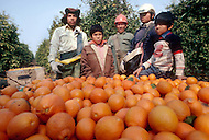 Child migrant worker picks fruit in California - Child labor as seen around the world between 1979 and 1980 - Photographer Jean Pierre Laffont, touched by the suffering of child workers, chronicled their plight in 12 countries over the course of one year.  Laffont was awarded The World Press Award and Madeline Ross Award among many others for his work.