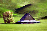 Old barn and blooming tree. The Palouse near Pullman, Washington