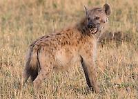 Hyena Portrait1  Kenya 2015