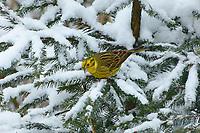 Goldammer, Männchen im Winterkleid bei Schnee, Gold-Ammer, Ammer, Emberiza citrinella, yellowhammer, male, Le Bruant jaune