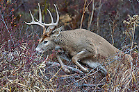 White-tailed Deer buck (Odocoileus virginianus) jumping fallen limbs, Western U.S., Late Fall.