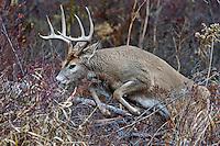 White-tailed Deer buck (Odocoileus virginianus) jumping fallen limbs, Western U.S., Late Fall.