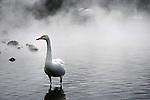 Swans migrate from Russia to Hokkaido and stay in the hot spring area on the shore of Lake Kussharo.<br /> <br /> Les cygnes migrent de la Russie vers Hokkaido et restent dans la région des sources chaudes située au bord du lac Kussharo.