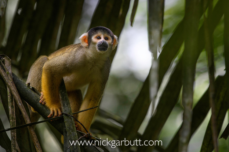 Adult squirrel monkey (Saimiri sciureus). Heath River, Tambopata / Bahuaja-Sonene Reserves, Amazonia, Peru / Bolivia border.