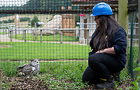 BNPS.co.uk (01202) 558833<br /> Pic: ZacharyCulpin/BNPS<br /> <br /> The owl that is no pussy cat..<br /> <br /> Safari park keepers are having to don hard hats before entering the home of their new attraction - a giant owl that is notoriously vicious.<br /> <br /> Dakota is a North American great horned owl that is also known as the 'tiger of the skies'.<br /> <br /> The bird has a wingspan of 5ft and lethal talons that can easily deal with sizable prey such as rabbits, skunks and porcupines in the wild.
