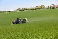 Spreading prilled nitrogen onto winter wheat - Norfolk, May