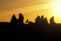 California sea lions (Zalophus californianus), sunrise, Pacific Coast.