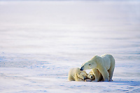 Polar Bears (Ursus maritimus)--mother being protective of cubs.