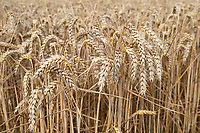 12-8-2021 Winter wheat ready for harvest.<br /> ©Tim Scrivener Photographer 07850 303986<br />      ....Covering Agriculture In The UK....