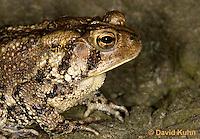0304-0934  American Toad, Details of Head, © David Kuhn/Dwight Kuhn Photography, Anaxyrus americanus, formerly Bufo americanus