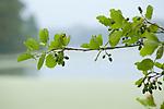 Europa, DEU, Deutschland, Nordrhein-Westfalen, Niederrhein, Nettetal, Naturpark Schwalm-Nette, De Wittsee, Schwarz-Erle (Alnus glutinosa), Schwarzerle, Blaetter, Dunst, Regen, Regenwetter, Natur, Umwelt, Pflanzen, Pflanzenkunde, Botanik, Biologie, <br /> <br /> [Fuer die Nutzung gelten die jeweils gueltigen Allgemeinen Liefer-und Geschaeftsbedingungen. Nutzung nur gegen Verwendungsmeldung und Nachweis. Download der AGB unter http://www.image-box.com oder werden auf Anfrage zugesendet. Freigabe ist vorher erforderlich. Jede Nutzung des Fotos ist honorarpflichtig gemaess derzeit gueltiger MFM Liste - Kontakt, Uwe Schmid-Fotografie, Duisburg, Tel. (+49).2065.677997, ..archiv@image-box.com, www.image-box.com]