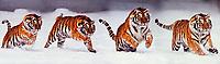 Siberian Tiger running through snow.  Composite.